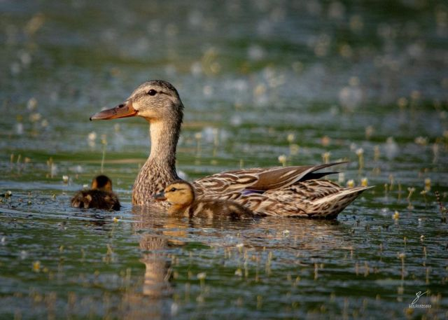 An adorable photo of a mom and her ducklings! Happy Thursday everyone.✨  Got a pic to share? Tag it #CanGeoTravel for a chance to be featured!  📷 : @zdphotographics   #CanGeoTravel #ExploreCanada #Wildlife #Travel